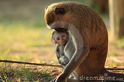 Vervet monkey mother with baby