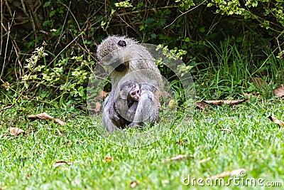 Vervet Monkey Mother Baby