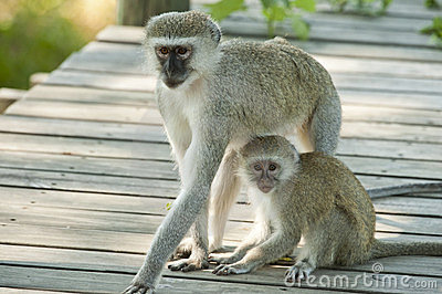 Vervet monkey mother and child