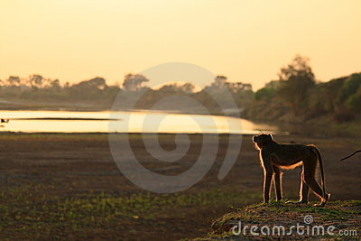 Vervet monkey at sunrise Zambia