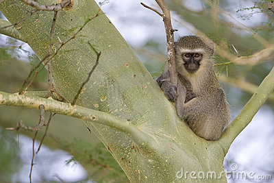 Vervet Monkey in a tree
