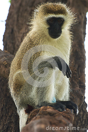 Vervet monkey on a tree branch