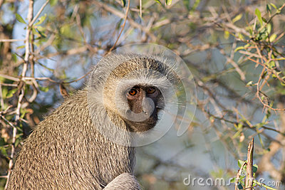 Vervet Monkey in tree in Kruger National Park