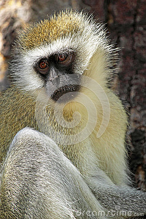 Vervet monkey on a tree