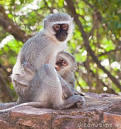 Free Vervet Monkey With Baby Stock Image - 13547321