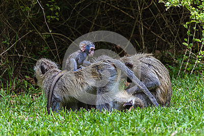 Vervet Monkeys Baby Ride