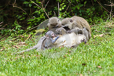 Vervet Monkeys Mother Baby