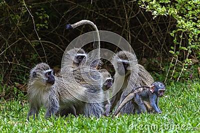 Vervet Monkeys Mother Baby