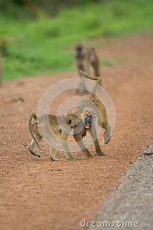 Vervet monkeys playing