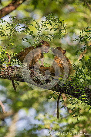Vervet monkeys playing the trees