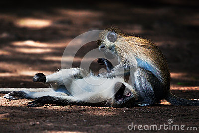 The vervet monkeys, Tsavo West, Kenya, Africa.