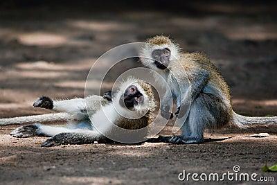 The vervet monkeys, Tsavo West, Kenya, Africa.