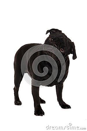 Verwarde pug