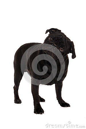 Verwirrter Pug