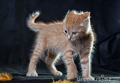 Very angry ginger tiger-kitten