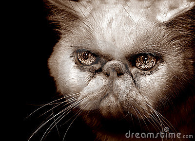 Very Angry Persian Cat