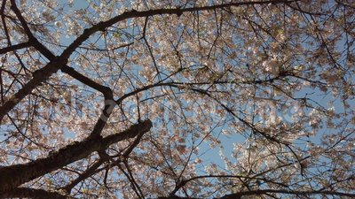 Very cherry season. This video is about QE cherry tree blossoming season stock video