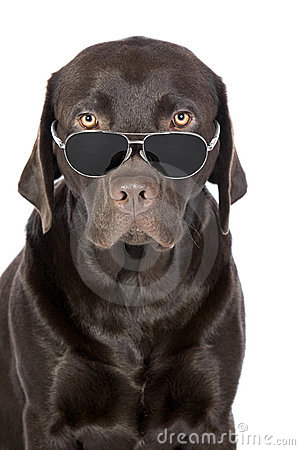 Very Cool Chocolate Labrador in Aviator Sunglasses