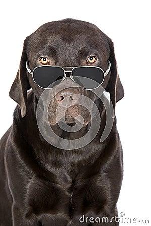 Very Cool Chocolate Labrador in Aviator Sunglasses