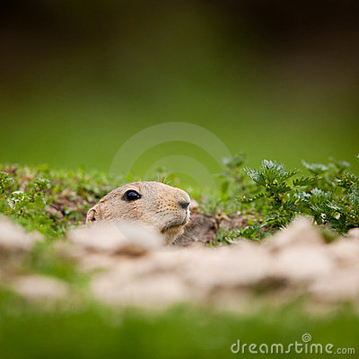 Free Very Cute Black Tailed Prairie Dog Royalty Free Stock Photography - 23729597