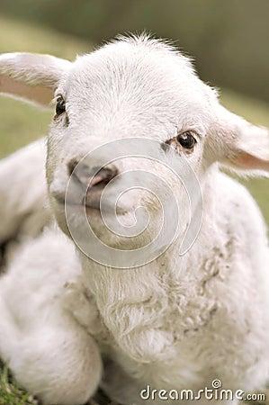 Free Very Cute Lamb Stock Image - 2240351