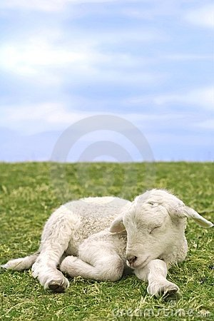 Free Very Cute Lamb In The Grass Royalty Free Stock Images - 2240389