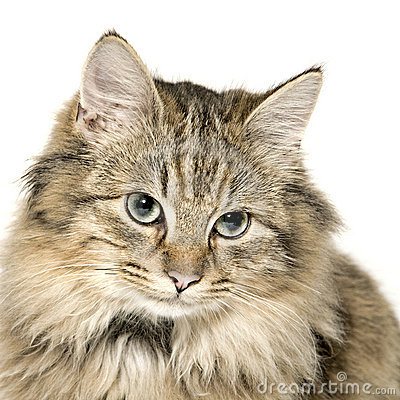 Very cute long haired kitten