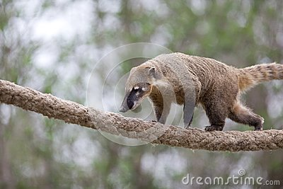 Very cute White-nosed Coati