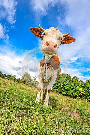Free Very Funny Cow With Big Muzzle Staring Straight Into Camera Close Up. Farm Animals. Royalty Free Stock Photography - 104840417