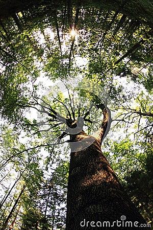 Free Very Old Oak Tree Stock Image - 107963941