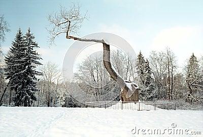 Very old oak tree