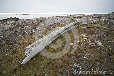 Very old whale bone (Arctic)