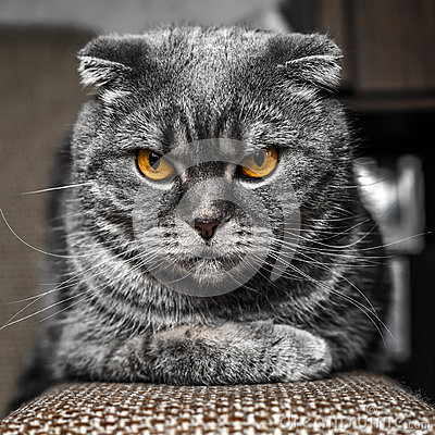 Free Very Serious And Cute Cat Royalty Free Stock Image - 66141426