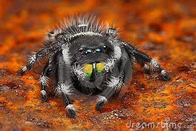 Very sharp photo of US jumping spider Phiddipus
