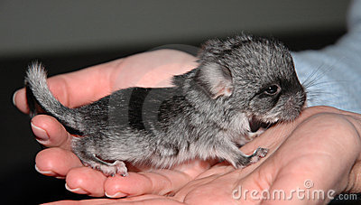 Very small Chinchilla