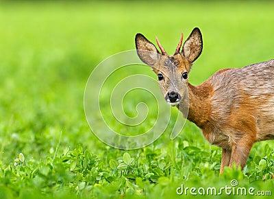 Very young roe deer