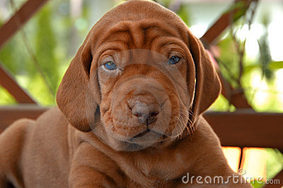 Very Young Vizsla Puppy