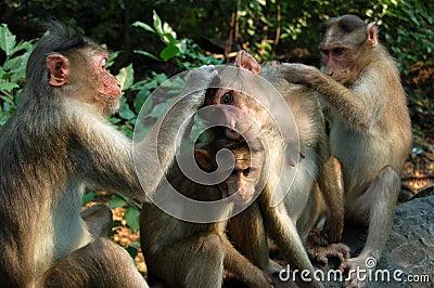 Verzorgende Apen Macaque