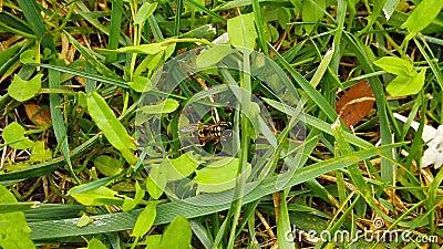vespa comune al rallentatore dell'erba stock footage