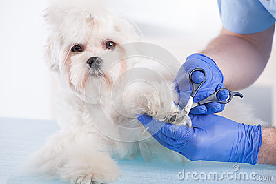 Vet trimming claws