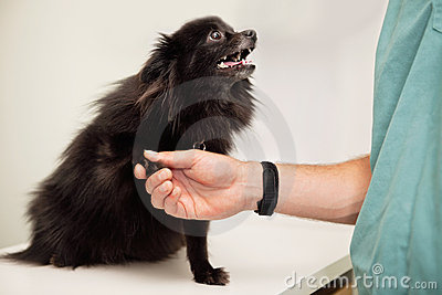 Veterinarian examining dog s paw