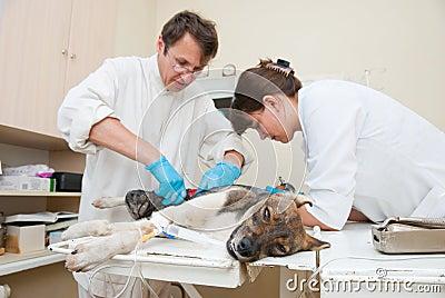 The veterinarian makes surgery