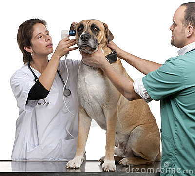 Free Vets Examining A Crossbreed Dog, Dog S Ear Stock Images - 23567434