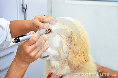Vet examining cute puppy dog