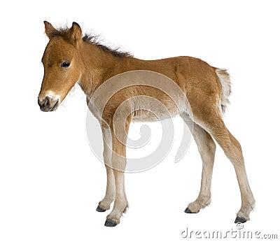 Veulen (4 weken oud)