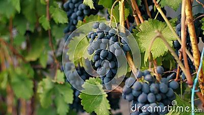 Viñedo con la uva azul marino metrajes