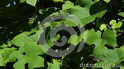 Viñedo de las uvas, yarda del vino: uvas maduras en la vid para hacer el vino blanco Las uvas de vino cosechan en Italia Viñedos  metrajes