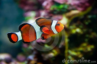 Vibrant Clownfish on reef