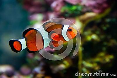 Vibrant Clownfish on reef
