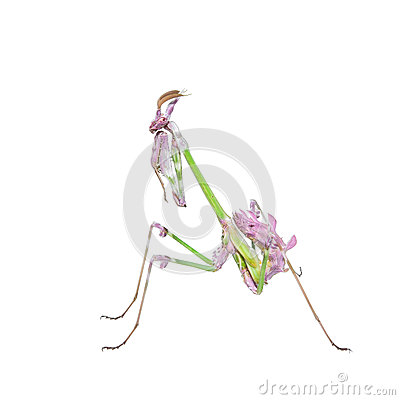 Free Vibrant Colored Tropical Raptor Insect Mantis Stock Image - 42719211